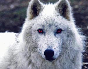 Dire Wolf   Quikteks LLC
