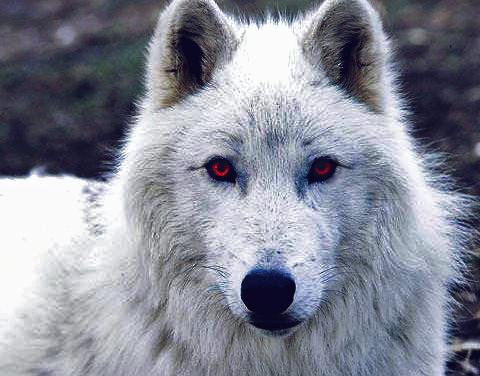 Dire Wolf | Quikteks LLC